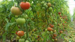 صدور ٢۴٠ تن محصول گوجهفرنگی گلخانهای از استان سیستان و بلوچستان به کشور امارات