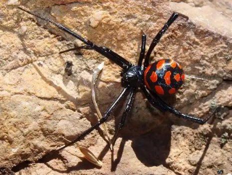 عنکبوت سمی بیوه سیاه، تهدیدی جدی برای سلامت حاشیه نشینان تالاب هامون