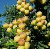 ورود محصول زردآلوی باغات شهرستان تفتان به بازار