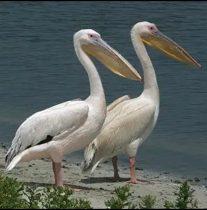 دستگیری پنج شکارچی متخلف در زیستگاههای پرندگان مهاجر